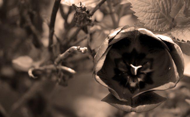 fiore mostruoso